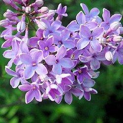Plantes odorantes - Fleurs au jardin   Pearltrees